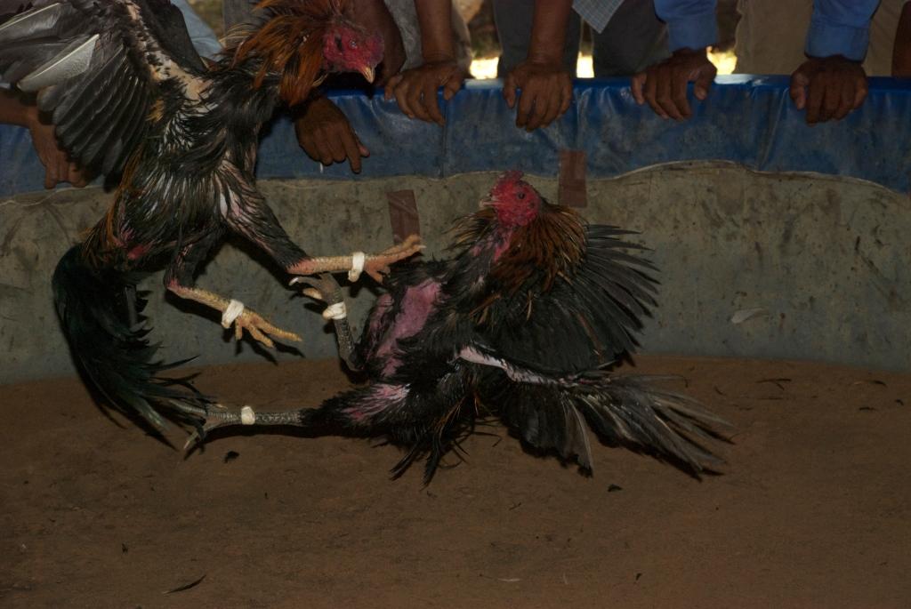 Fighting Cocks Northeast Thailand
