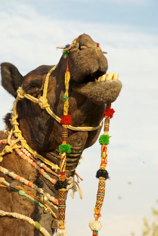 camel jaisalmer india safari