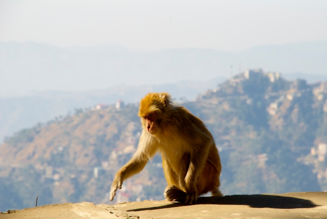 Monkey in Shimla India