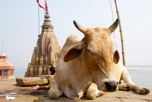 Cow in Varanasi, India