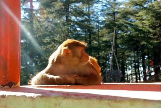 monkey shimla temple