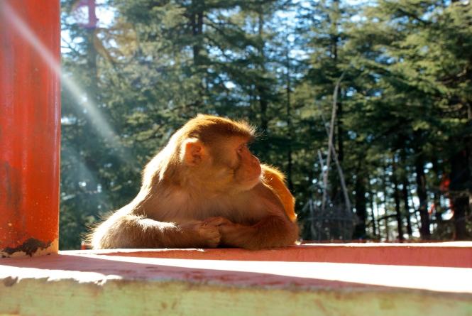 monkey shimla temple